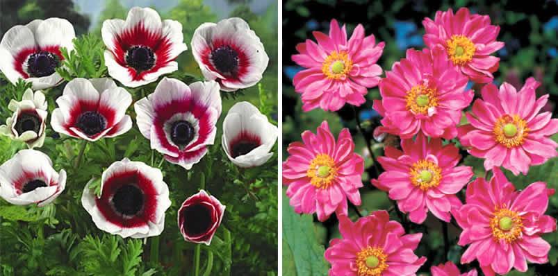 Цветы анемоне посадка и уход