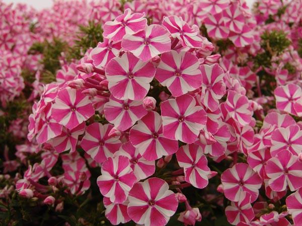 Floksi posadka i uhod 150x150 садовые цветы