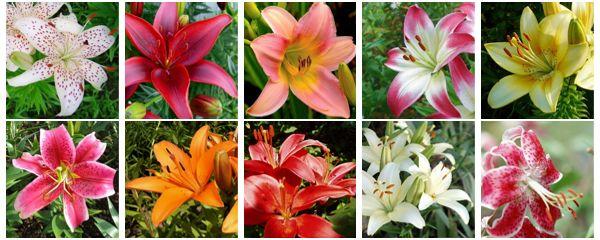 Лилии. Различные соцветия