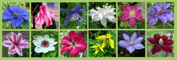 Клематисы разного цвета и формы, и все они хорошо вьются.