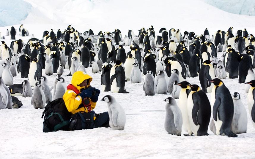 Обитатели Антарктики - королевские пингвины и фотограф
